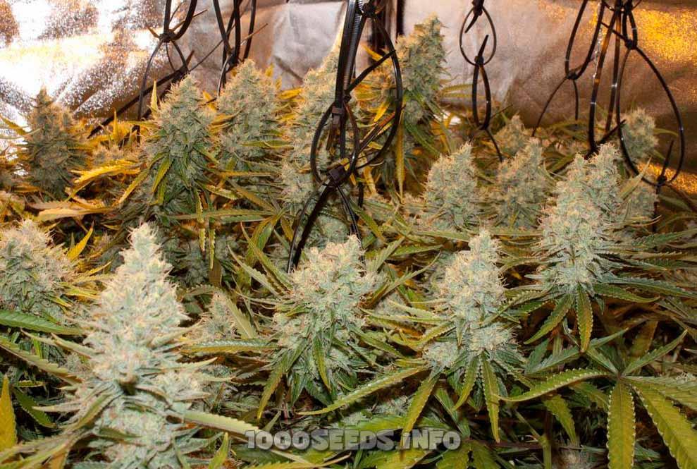 G13 Haze (Barney's Farm), 5 feminisierte Samen