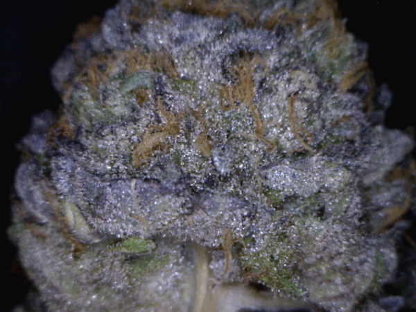 GrandDaddy Purple (Grand Daddy Purp Genetics), 10 regular Seeds