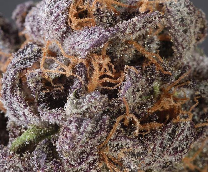 GrandDaddy Purple (Grand Daddy Purp Genetics), 10 regular Seeds