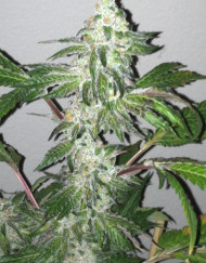 Girl Scout Cookies (The Cali Connection), 6 feminisierte Samen