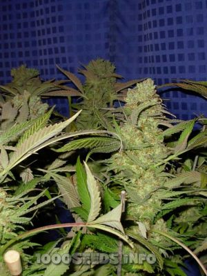 Great White Shark (Green House Seed), feminisierte Samen