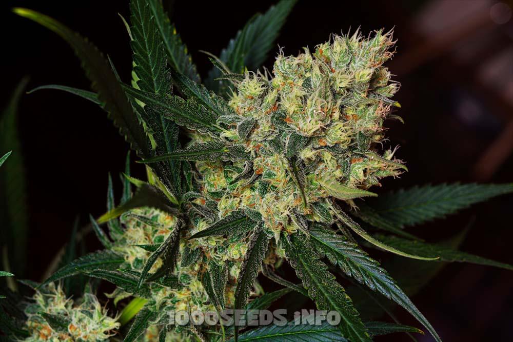 Green Poison - F1 Fast Version (Sweet Seeds), feminisierte Samen
