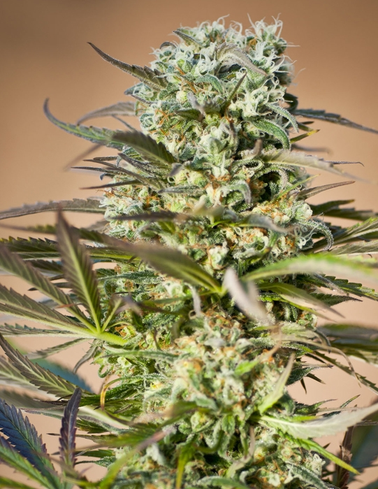 Hawaiian Wave (Ripper Seeds), feminisiert