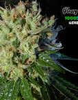 Heavy Traffic (1000Seeds Genetics)