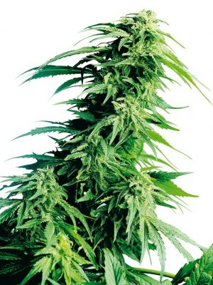 Hindu Kush (Sensi Seeds), 10 regular Seeds