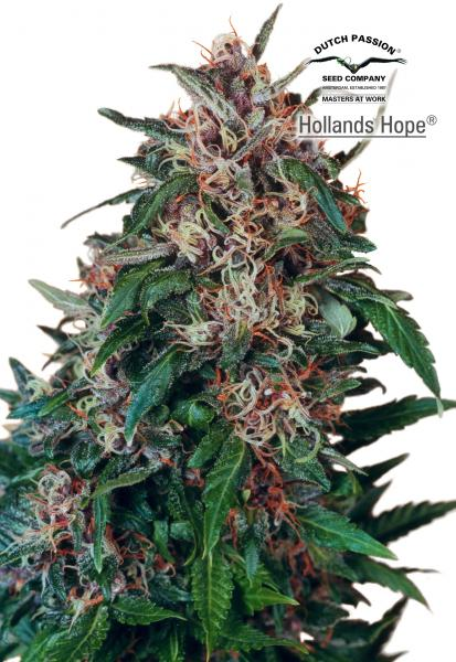 Hollands Hope (Dutch Passion)