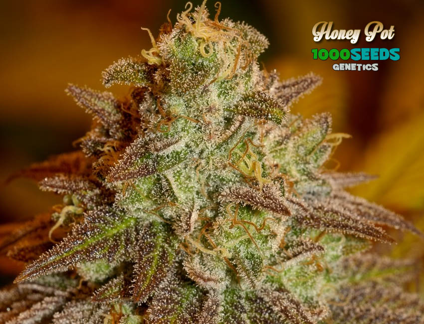 Honey Pot (1000Seeds Genetics)