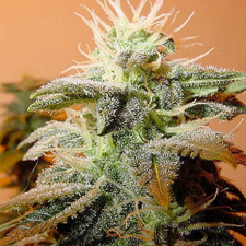 Indoor Mix (Female Seeds), 10 feminisierte Samen