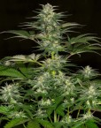 Jack 47 Fast Version (Sweet Seeds), feminisierte Samen