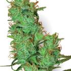 Jack Herer (White Label), 10 regular Seeds