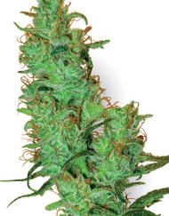 Jack Herer (White Label), 10 regular Seeds