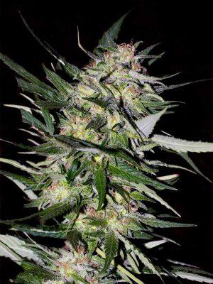 Jack Plant (Advanced Seeds), feminisierte Samen