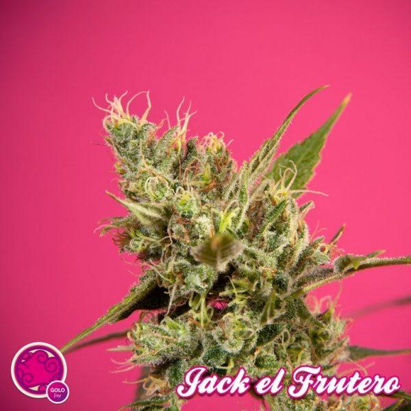 Jack el Frutero (Philosopher Seeds) feminisiert