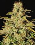 Jacky White (Paradise Seeds), feminisierte Samen
