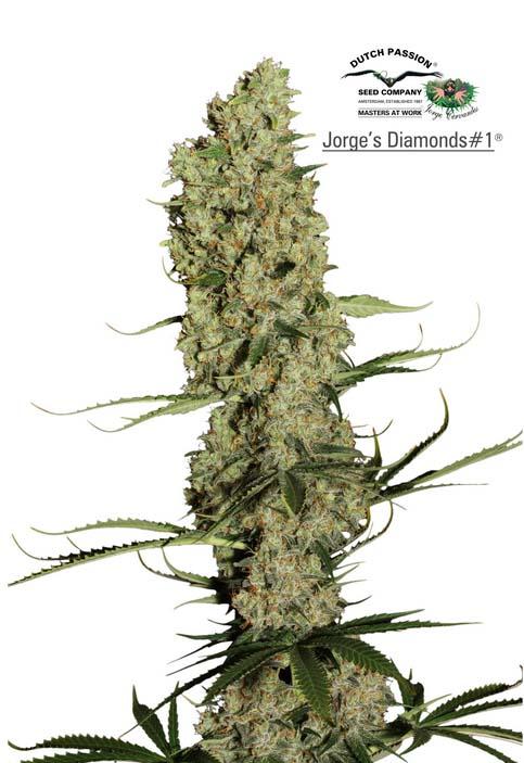 Jorge's Diamonds #1 (Dutch Passion), feminisierte Samen