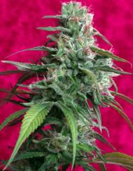 Juanita de Lagrimosa (Reggae Seeds), 3 feminisierte Samen