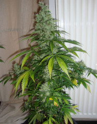Kalashnikova Auto (Green House Seeds), automatic Samen