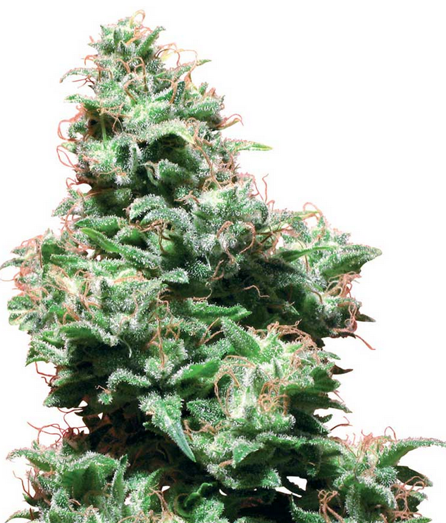 Kali Haze (White Label), 10 regular Seeds