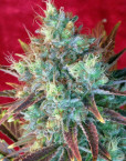 Kalijah (Reggae Seeds), 7 regular Seeds