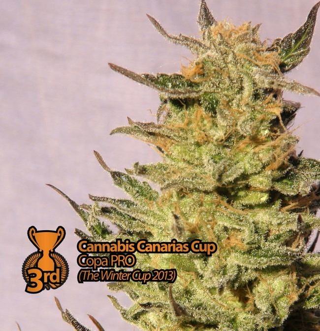 Karamelo (Kannabia), 5 feminisierte Samen