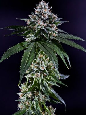 Ken's Kush (Grand Daddy Purple Genetics), 10 regular Seeds
