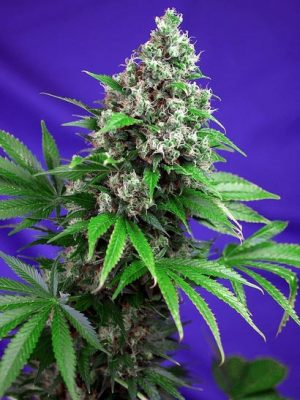 Killer Kush F1 - Fast Version (Sweet Seeds), feminisierte Samen