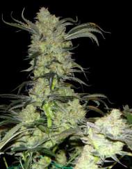 King's Kush (Green House Seed), feminisierte Samen