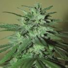 La Cheperudeta (Élite Seeds) feminisiert - CBD Strain