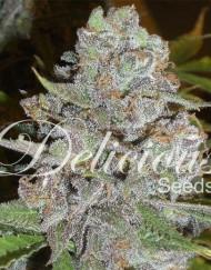 La Diva (Delicious Seeds), 5 autofeminisierte Samen