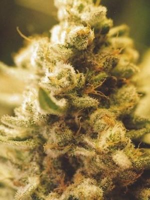 Lemon Kush (Female Seeds), 10 feminisierte Samen