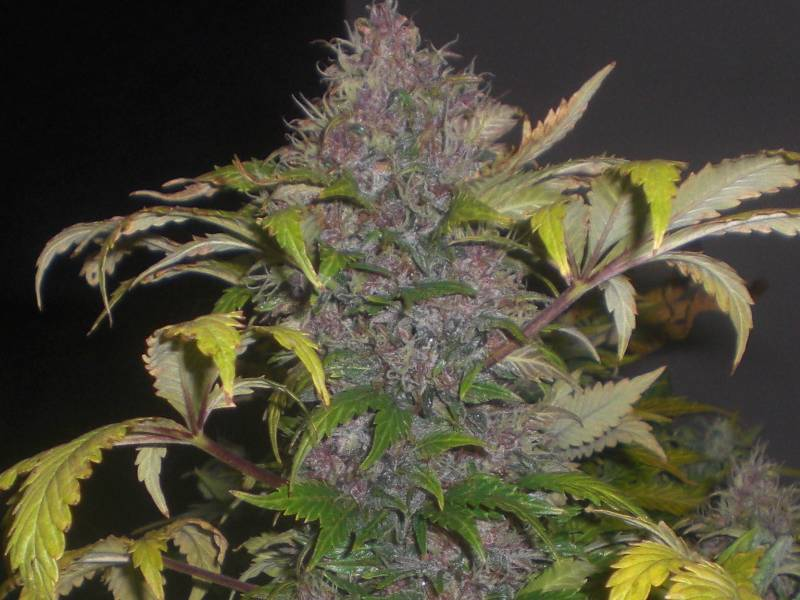 Lowryder #2 von Joint Doctor, 6 oder 10 automatic Seeds
