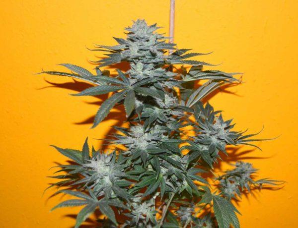 Mangolita (Cannamed), feminisierte automatic Samen