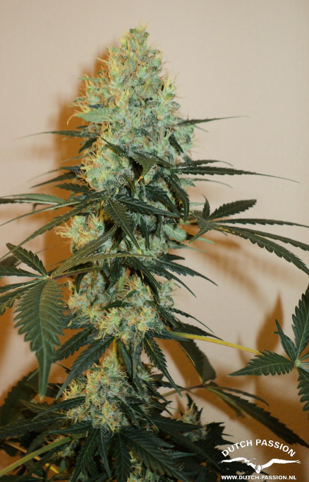 Masterkush (Dutch Passion)