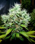 NYC Diesel (Soma Seeds), 10 reguläre Samen
