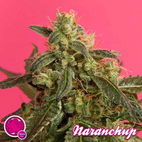 Naranchup (Philosopher Seeds) feminisierte Samen