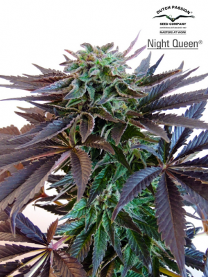 Night Queen (Dutch Passion), 3 feminisierte Samen
