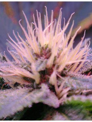 Blue Mystic (Nirvana) 5 feminisierte Samen