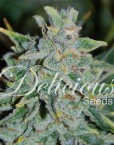 Northern Light Blue Auto (Delicious Seeds), 5 autofeminisierte Samen