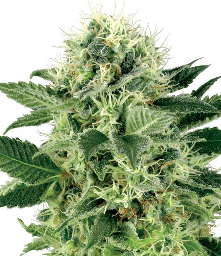 Northern Lights (White Label), 5 feminisierte Samen