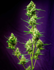 Nurse Jackie (TGA Subcool), 5 oder 10 regular Seeds