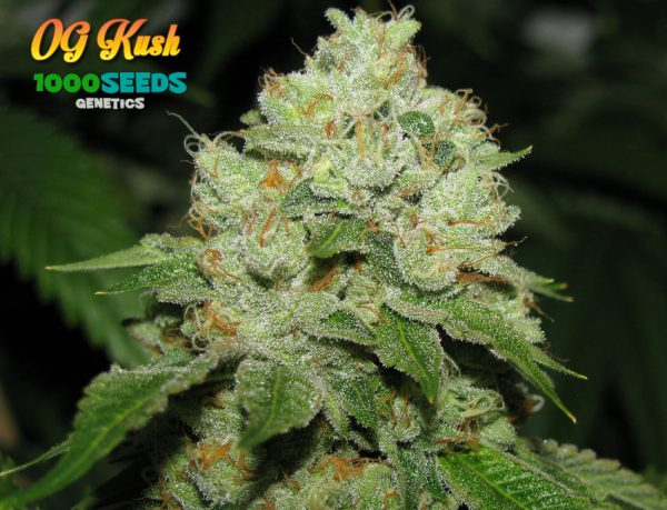 OG Kush (1000Seeds Genetics)