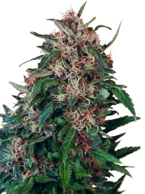 Orange Bud (Dutch Passion), 5 feminisierte Samen