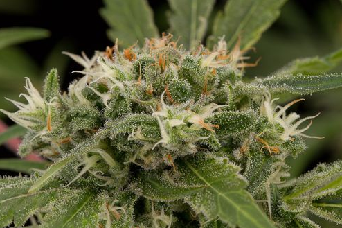 Original Strawberry Cough (Dinafem) feminisiert