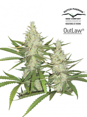 Outlaw (Dutch Passion), 3 feminisierte Samen