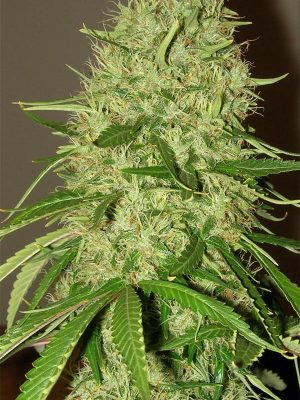 Papaya (Nirvana Seeds), 10 regular Seeds