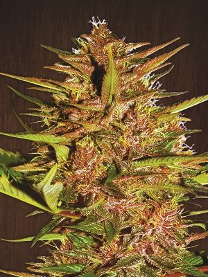 Pakistan Chitral Kush (ACE Seeds) 5 regular Seeds