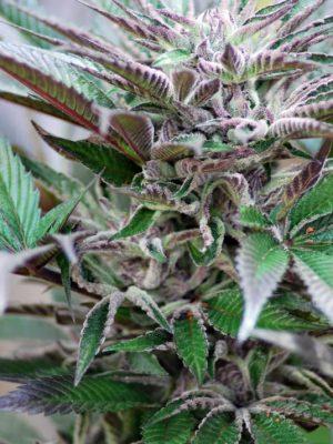 Panama D.C. (Cannabiogen), 5 feminisierte Samen