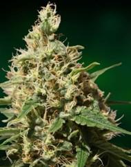 Peppermint Kush (Barney's Farm) 5 feminisierte Samen