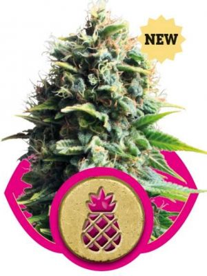 Pineapple Kush (Royal Queen Seeds), 3 feminisierte Samen