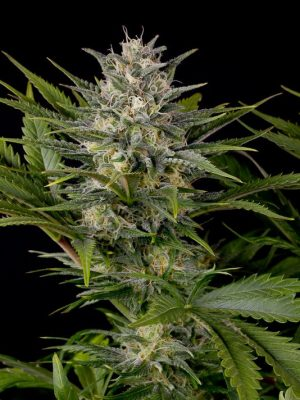 Pineapple Skunk (Humboldt Seeds), 5 regular Seeds